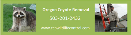 Raccoon Removal Portland, Or