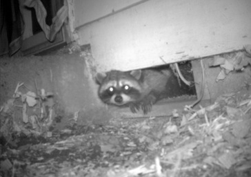 Milwaukie Raccoon Removal