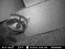 Oregon Raccoon Control