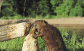 Forest Grove Beaver Control